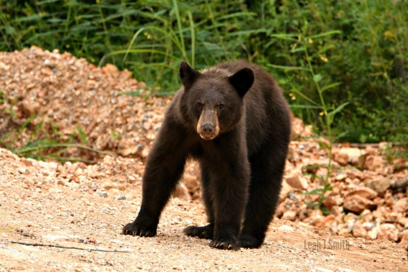 Beautiful Black Bear