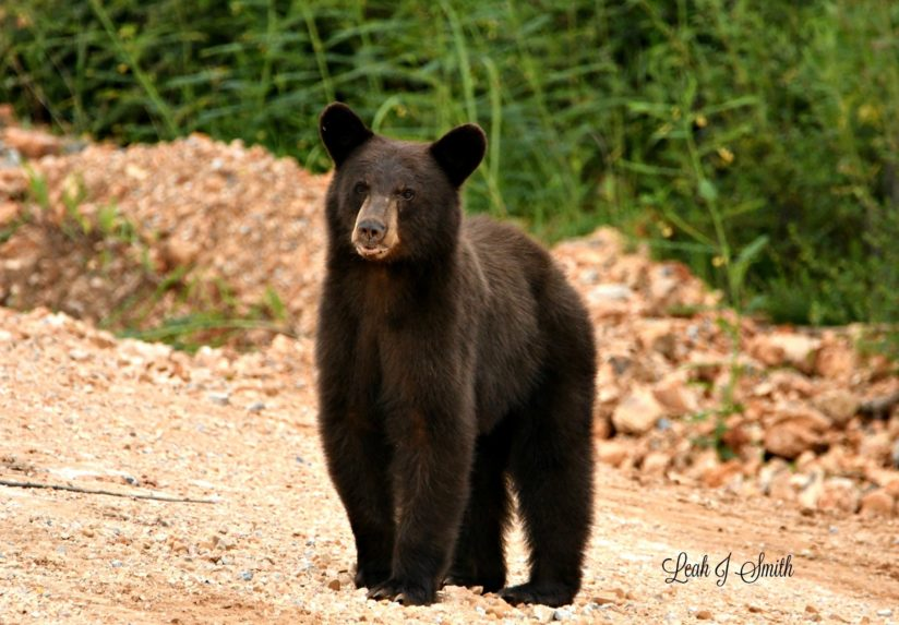 Little Male Black Bear
