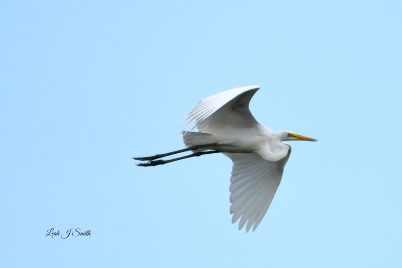 The Great Egret In Flight