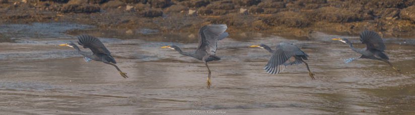 Western Reef Egret photo sequence