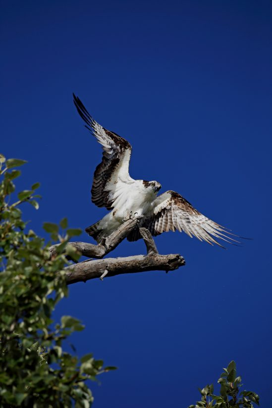 Osprey on the rise