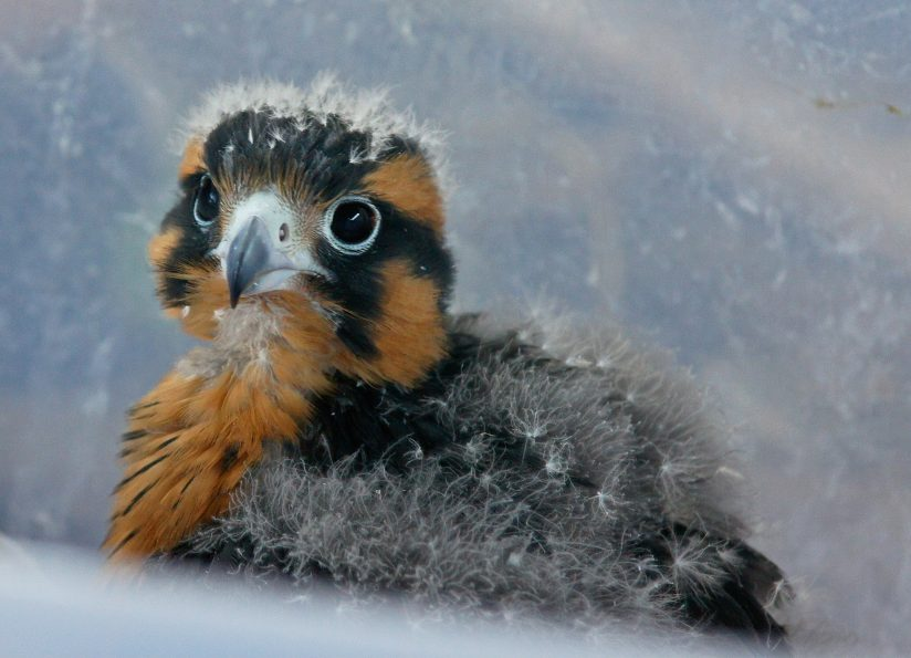 Young Falcon