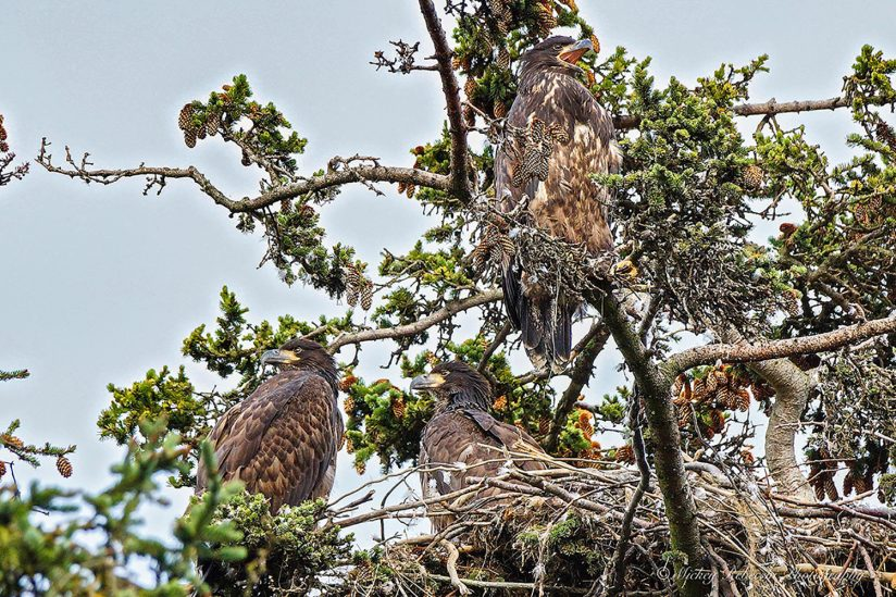 Young Bald Eagles
