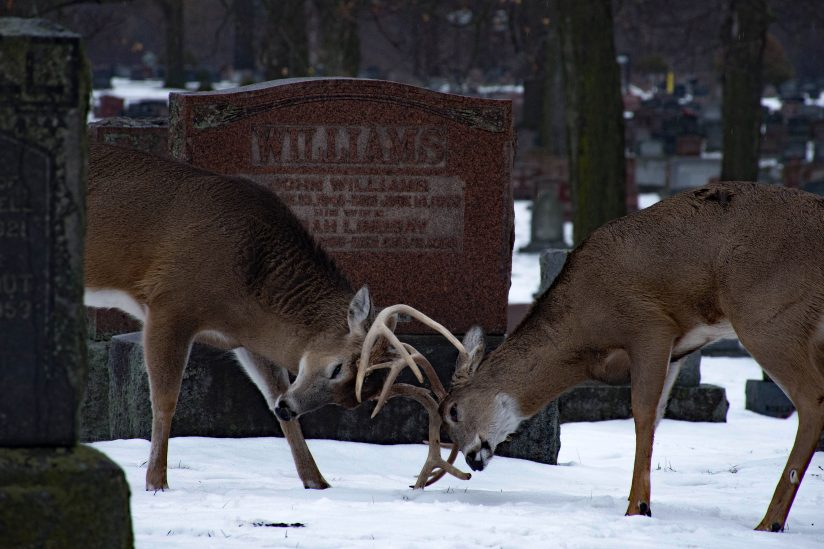 White Tailed Deer Sparring