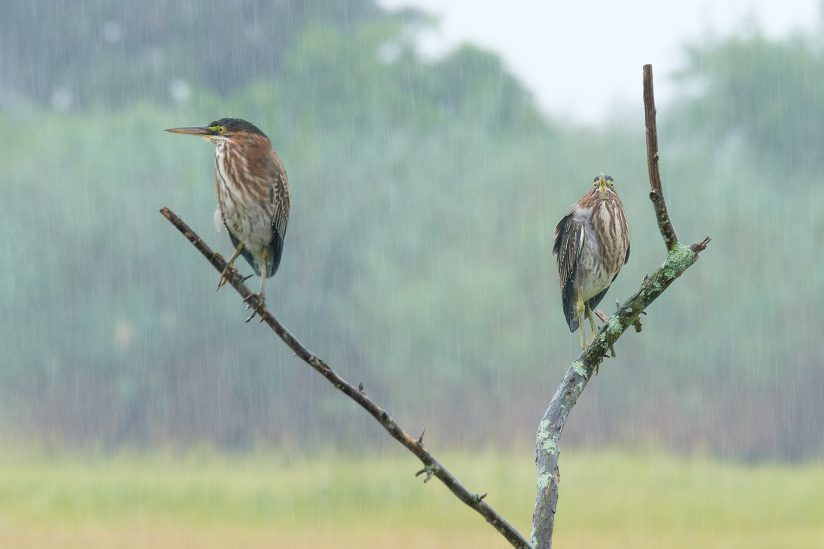 Green Herons in the rain