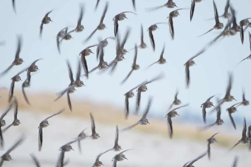 A flock of Dunlin Sandpipers