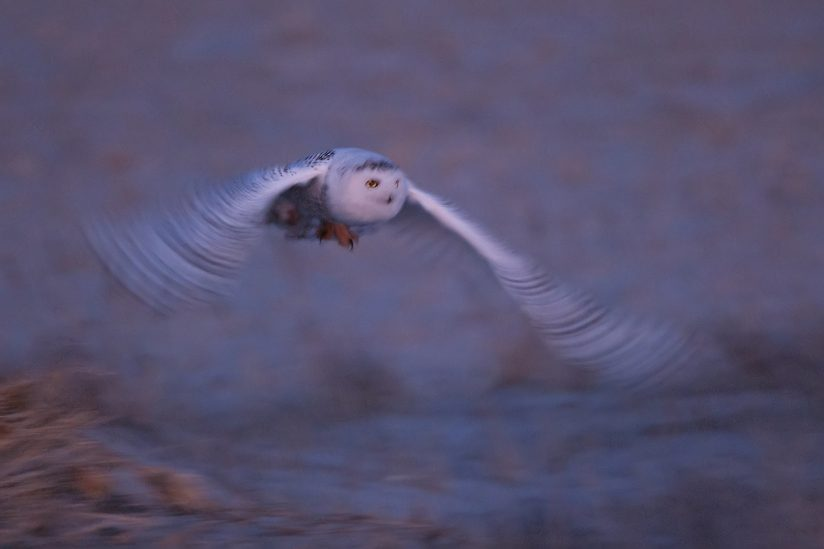 Snowy owl flight in afterglow