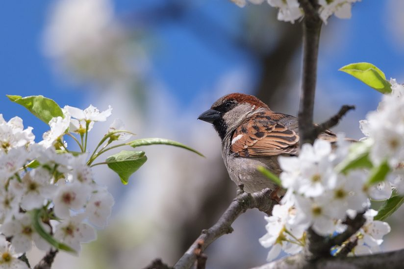Sparrow in a pear tree