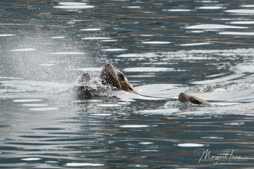 Steeler Sea Lions fishing for Eulachon