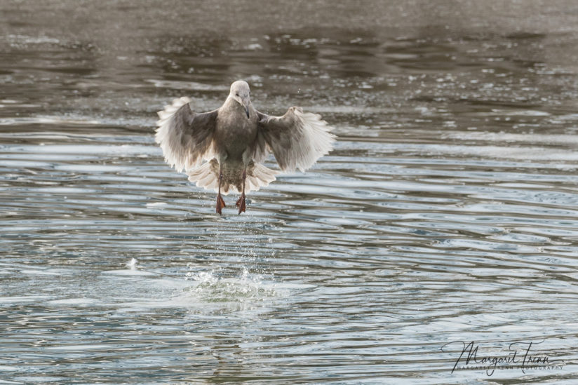 Glaucus Winged Gull plunge dive – 1