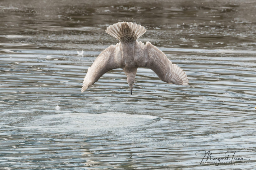 Glaucus Winged Gull plunge dive – 3