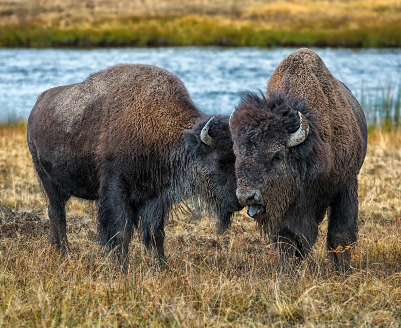 Weary Bison