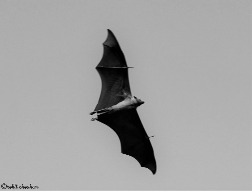Pteropus giganteus (Indian Flying Fox) – IUCN Red List by Rohit Chouhan