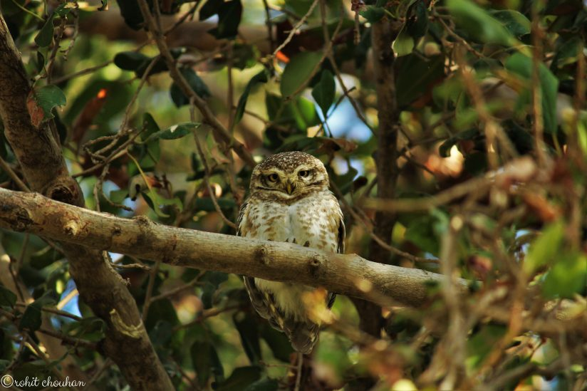 indian spoted owl (Rohit Chouhan)