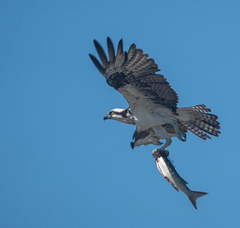 Osprey Lunchtime
