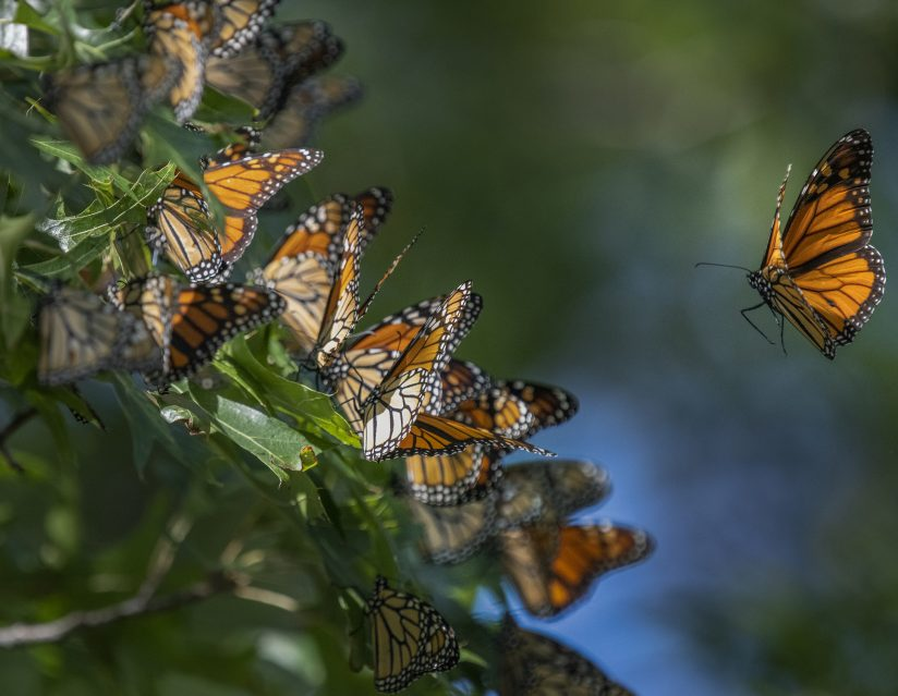 Last of the Monarch Migration