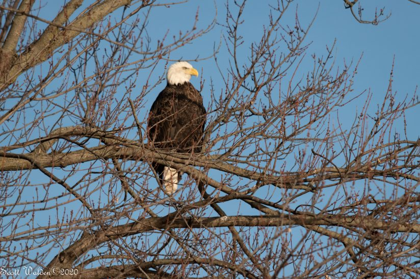 Eagle on Lookout