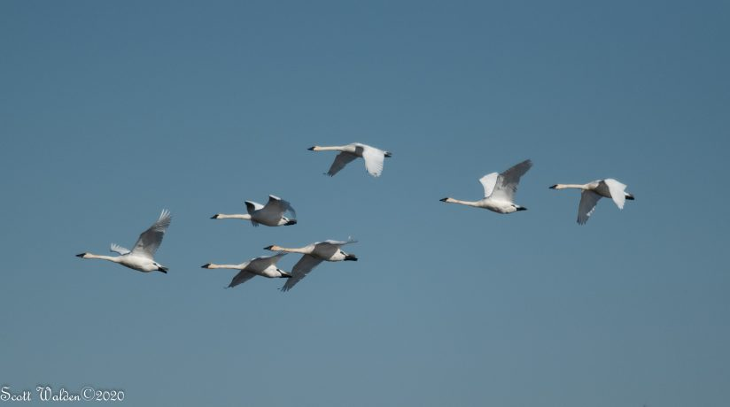 Trumpeter Swans in Formation