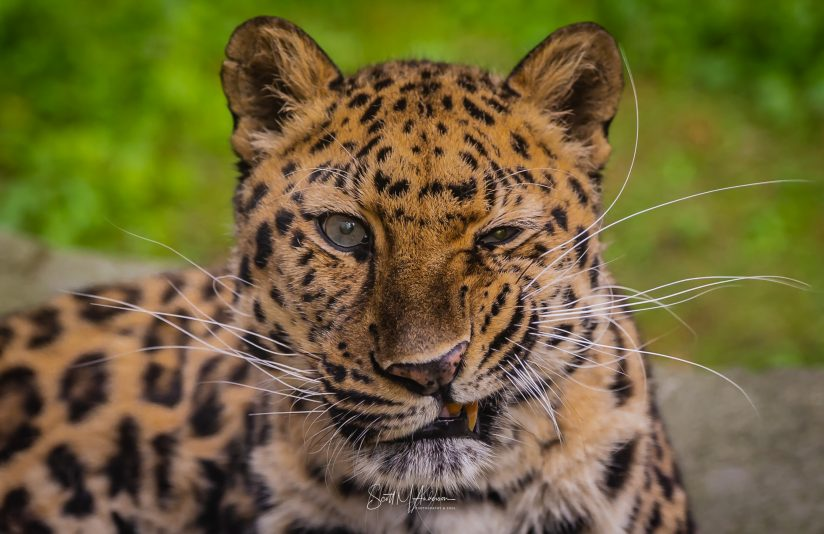 Amur Leopard [Who Is Blinking At You]