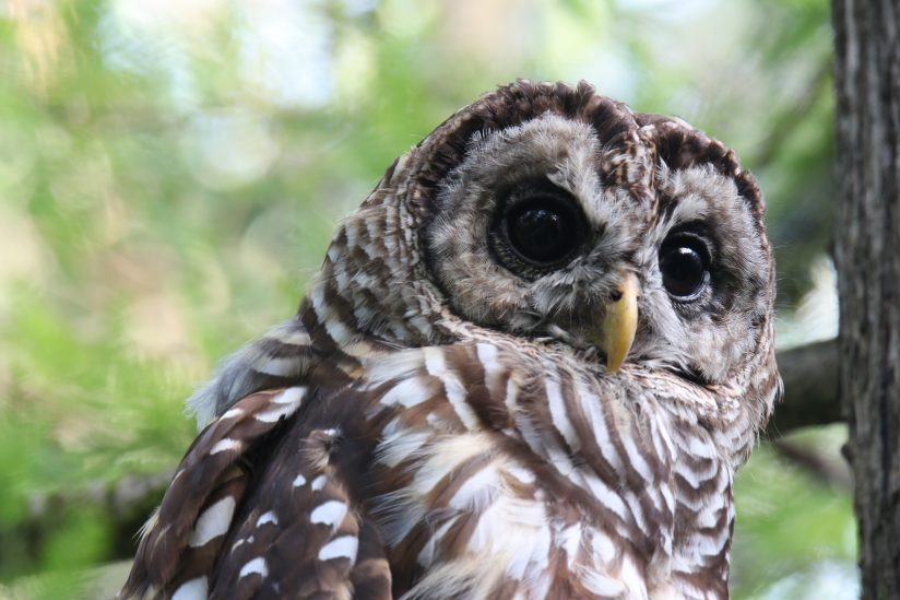 Wise Young Owl