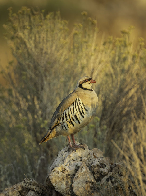 Chukar in the Morning Light