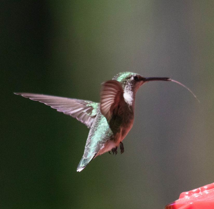 Hummer sticking his tongue out