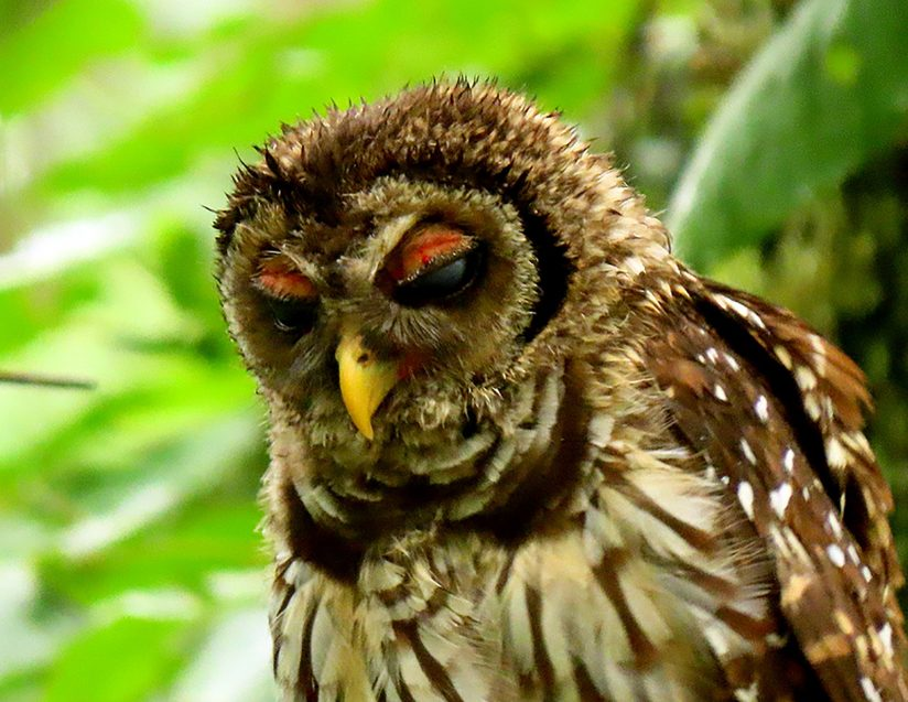 Young, Sleepy Barred Owl