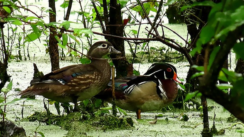 Male & Female WoodDucks