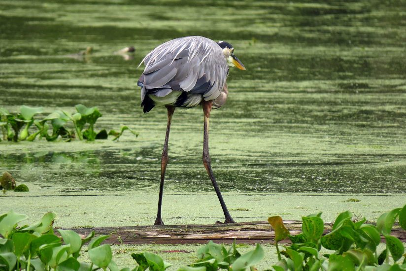 Great Blue Heron Rear View