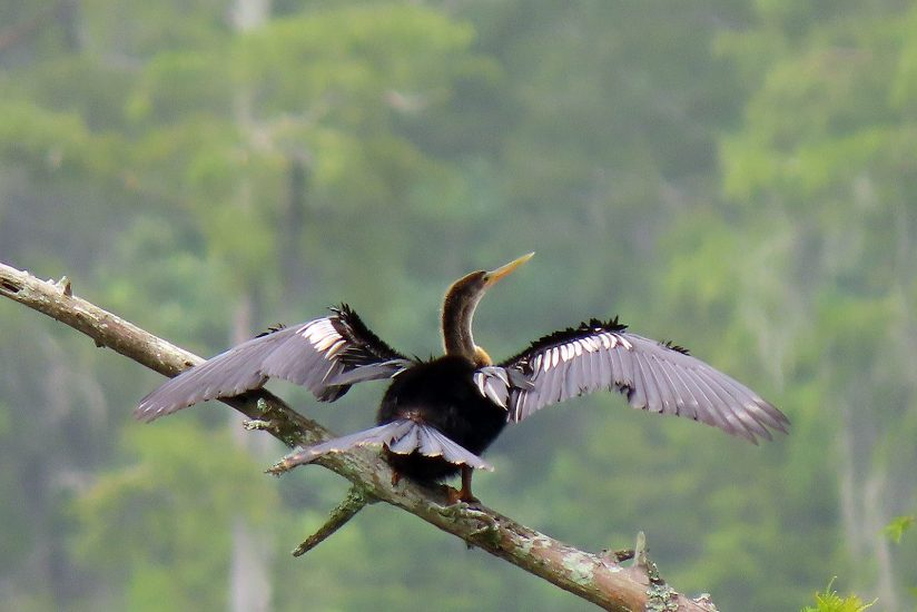 Anhinga Drying its Wings Before Take-Off