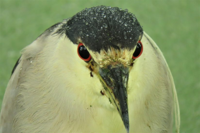 Black-crowned Night heron with raindrops & Mosquitoe