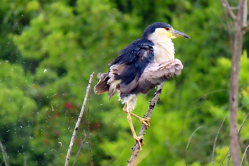 Preening, Black-Crowned Night Heron