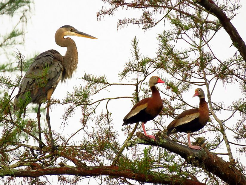Great Blue Heron & Black-Bellied Whistling Ducks
