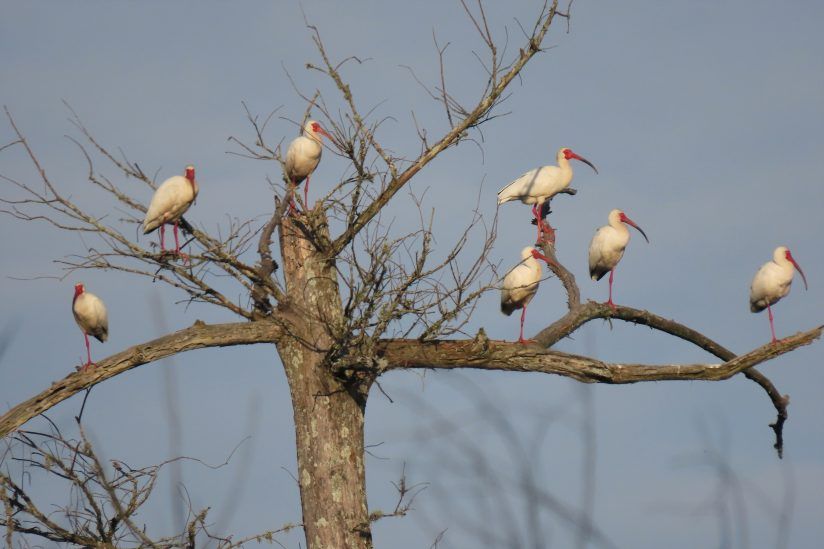 Tree of Ibises