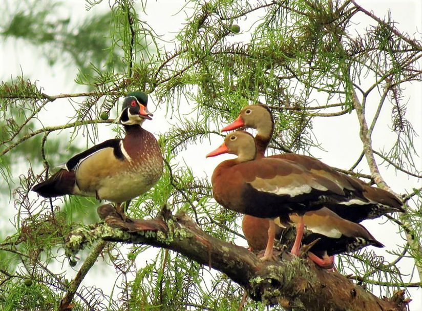 Male Wood Duck & Black-Bellied Whistling Ducks
