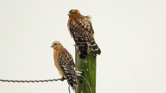 Red-Shouldered Hawk Pair