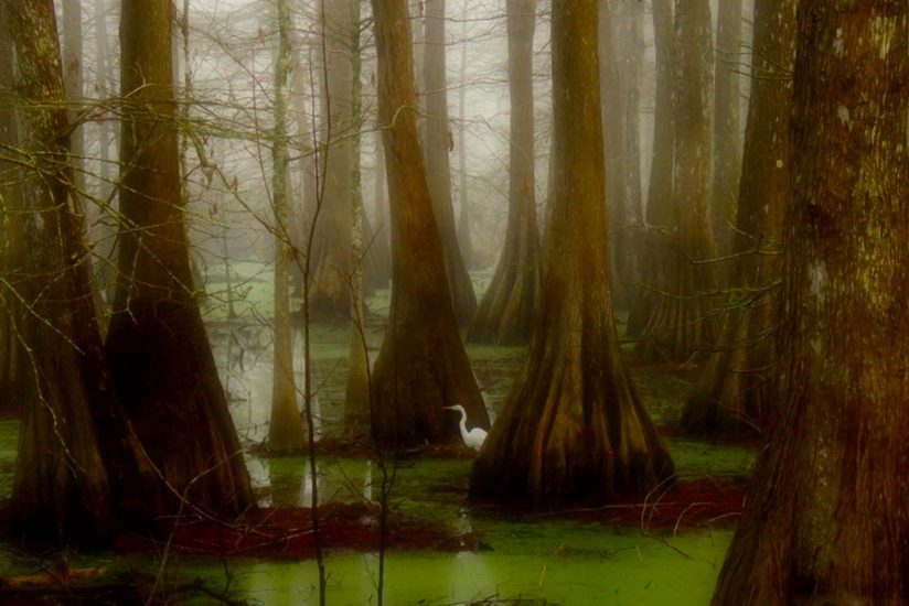 Foggy Cypress Grove