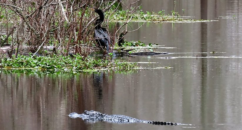 Alligator & Anhinga