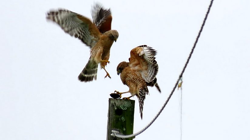 Red-Shouldered Hawk Pair Sharing a Turtle