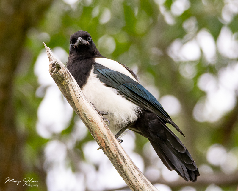 Young magpie