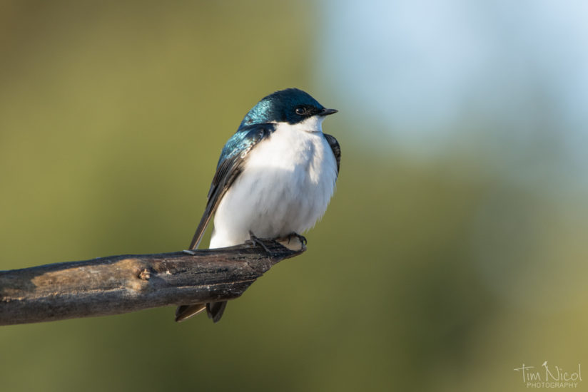 Tree Swallow At Dawn