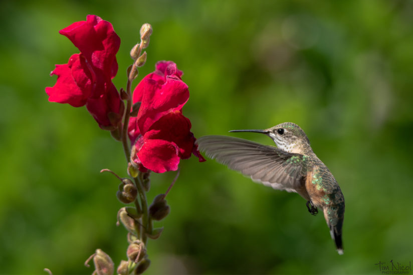 Hummingbird & Snapdragon