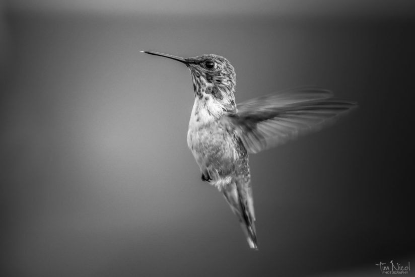 Rufous in Black & White