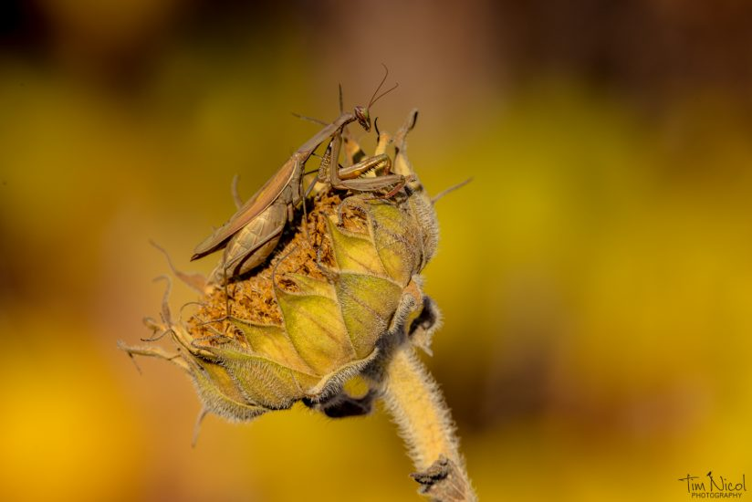 Praying Mantis & Sunflower