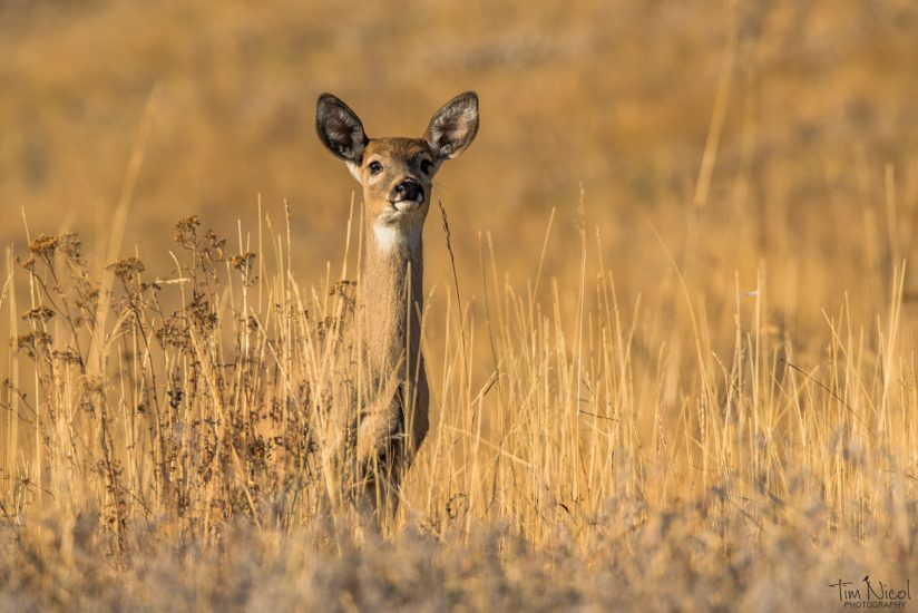 Young Whitetail Doe