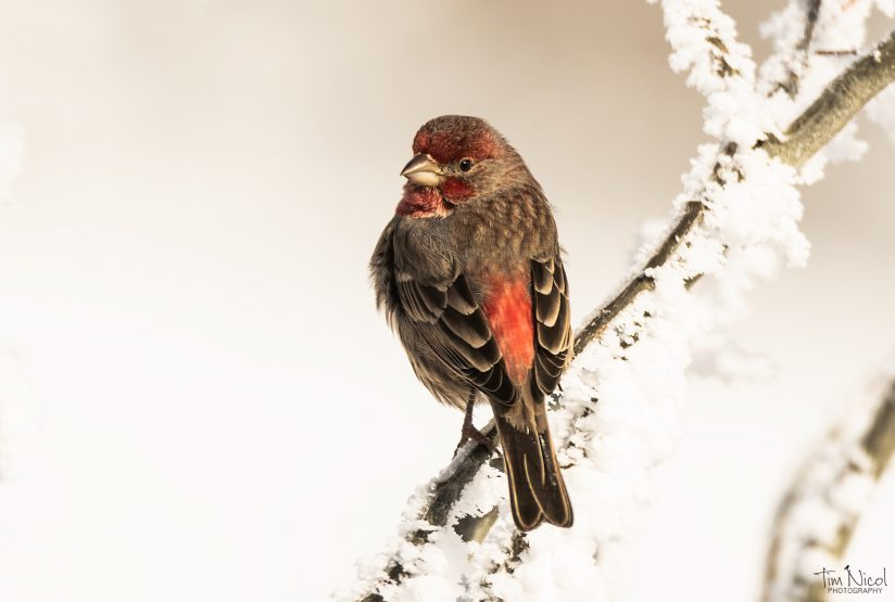House Finch in the Snow