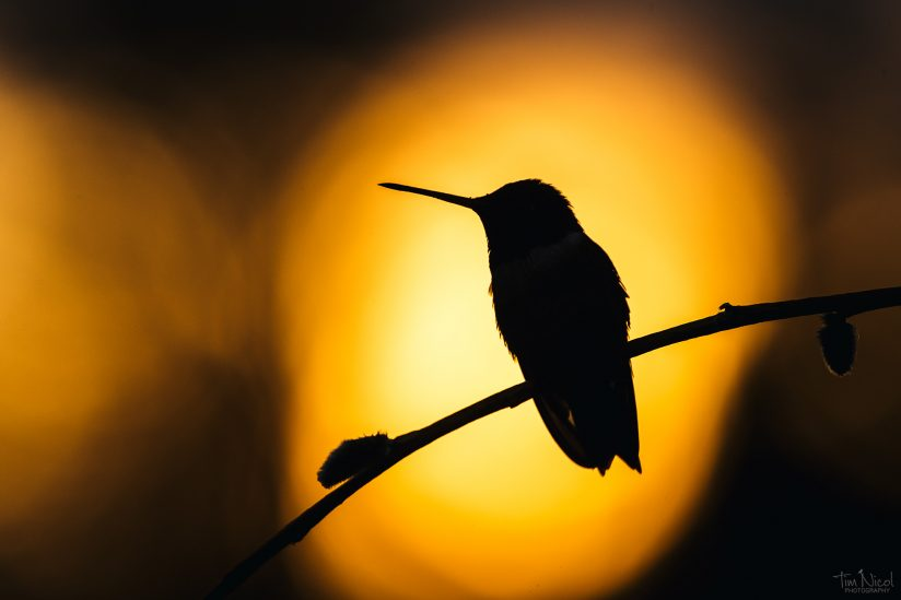 Black-chinned at Sunset