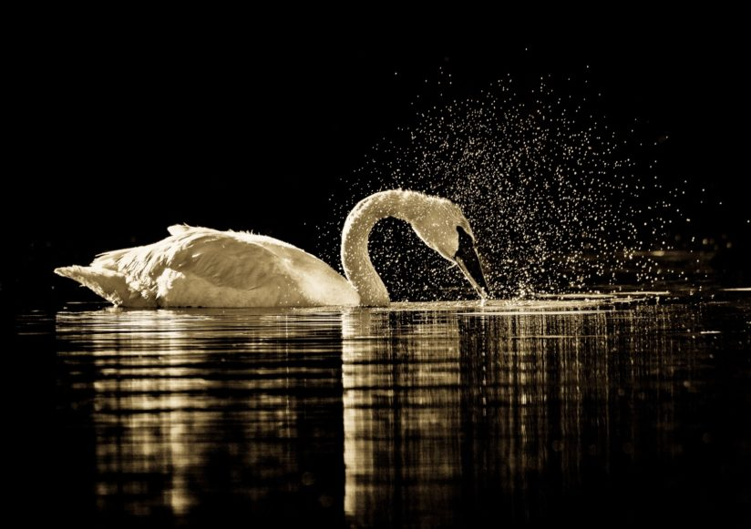 Splashing swan