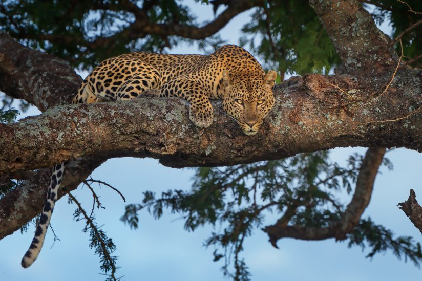 Late afternoon leopard