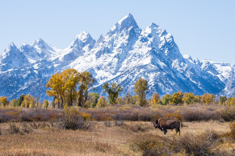 Lone Bison Dwarfed By The Grand Tetons